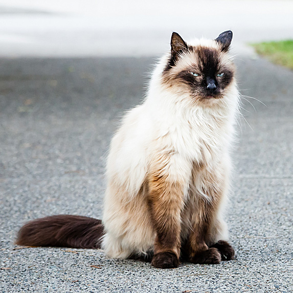 Hypoallergenic Balinese cat sitting in driveway