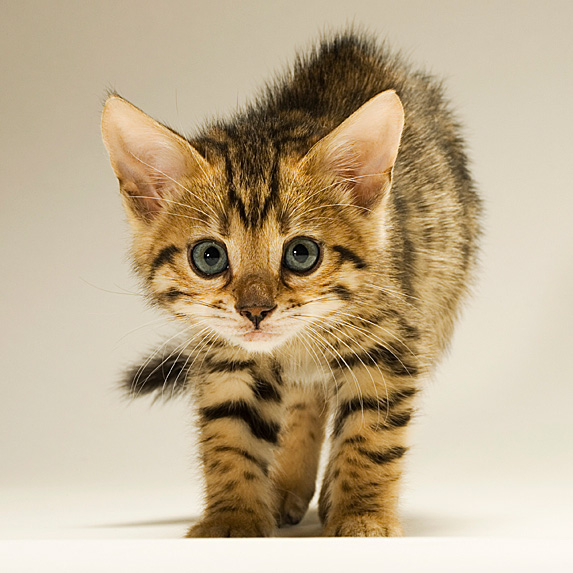 Hypoallergenic Bengal kitten slowly stalking towards camera