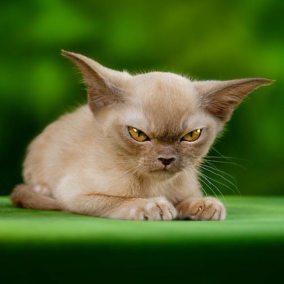 Angry looking hypoallergenic Burmese cat on green floor