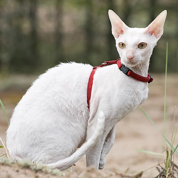 Hypoallergenic Cornish Rex cat