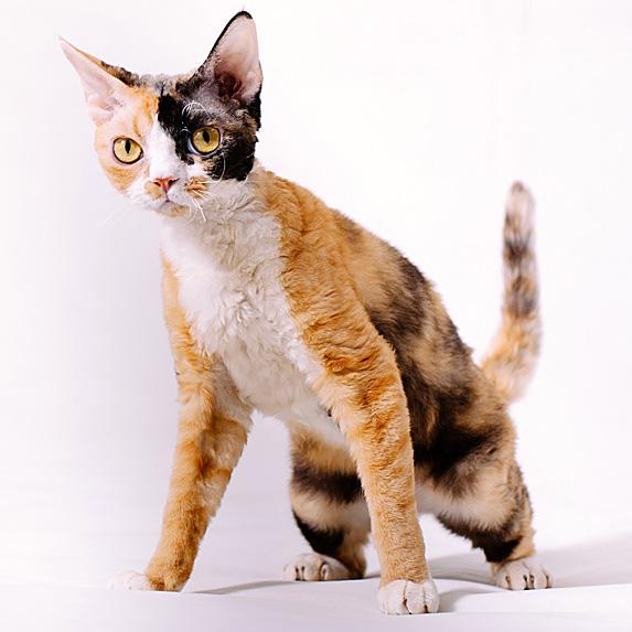 Orange, black and white Devon Rex hypoallergenic cat