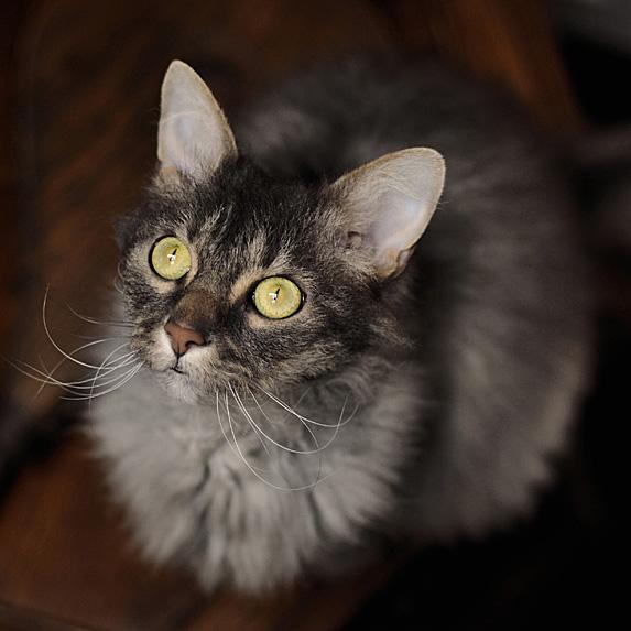 Hypoallergenic LaPerm cat looking up
