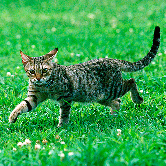 Hypoallergenic Ocicat cat with wildcat-like stripes walking along grass