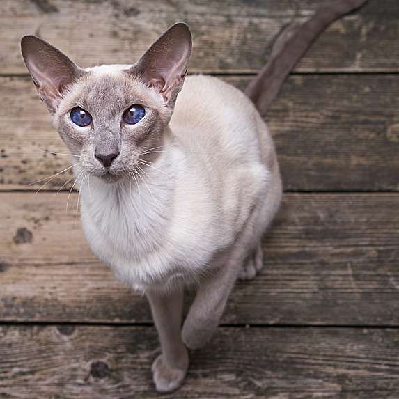 Grey hypoallergenic Oriental cat looking up at camera