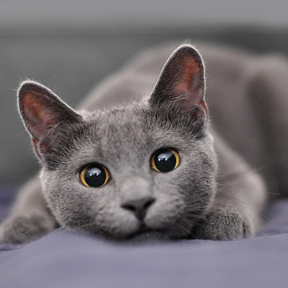 Close-up of adorable grey Russian Blue Hypoallergenic cat
