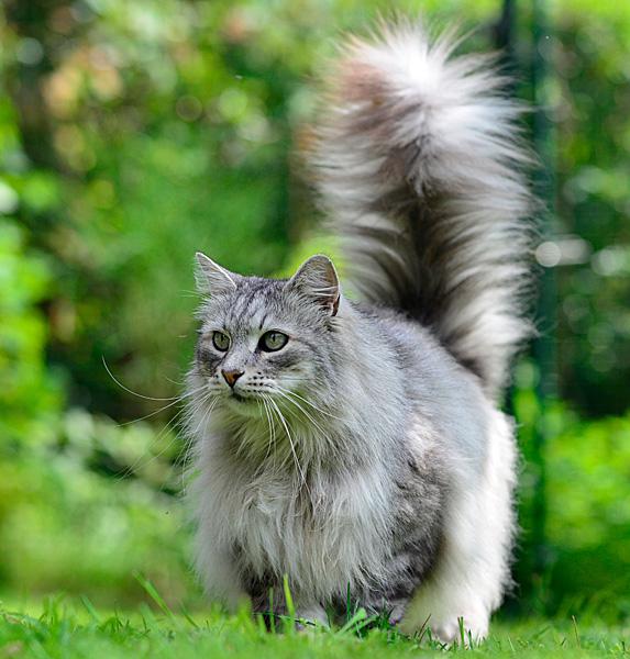 Fluffy grey hypoallergenic Siberian cat in grassy yard