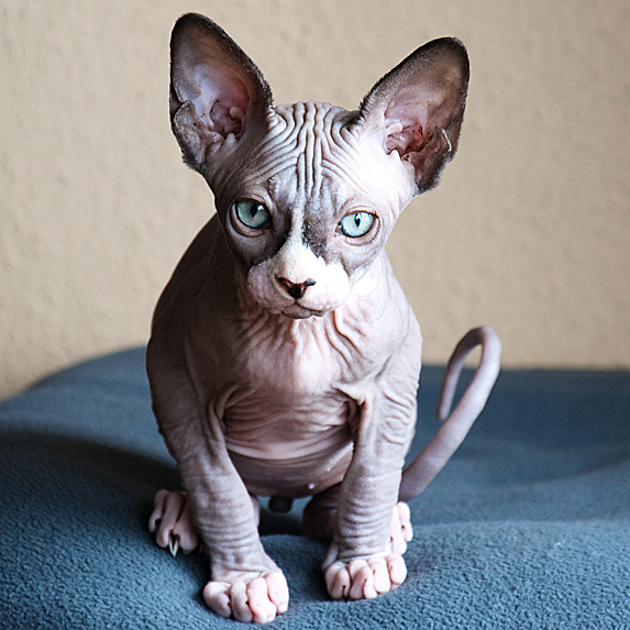 Wrinkly grey hypoallergenic Sphynx cat with pale blue eyes