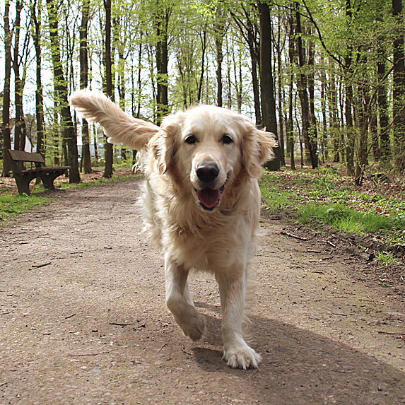 Happy golden retriever walking in woods