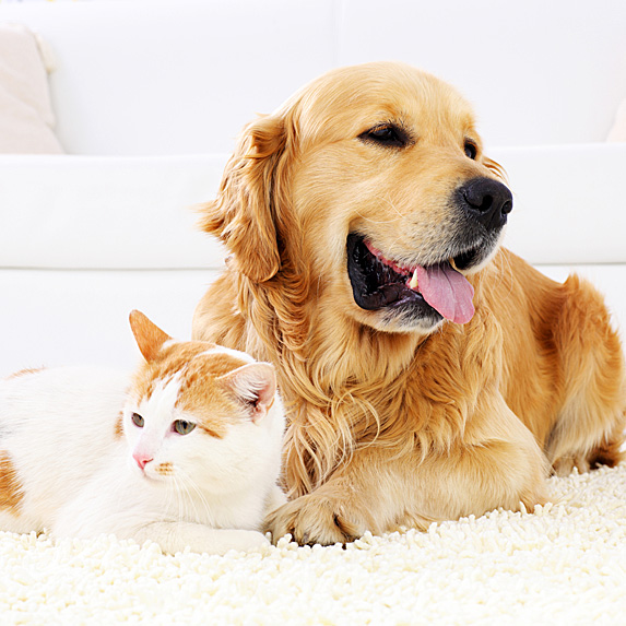 Golden retriever and cat lying next to each other on carpet