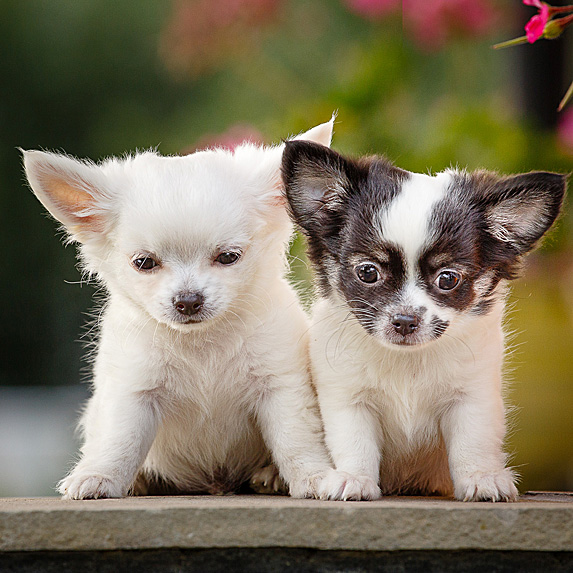 Two Chihuahua puppies sitting down