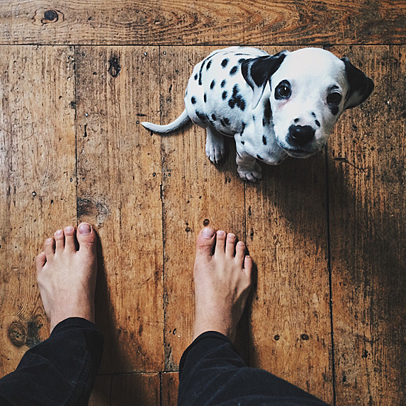 Dalmatian puppy standing next to a pair of bare feet, looking up at owner