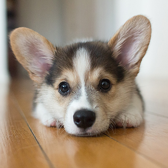 Corgi puppy lying with chin to the floor