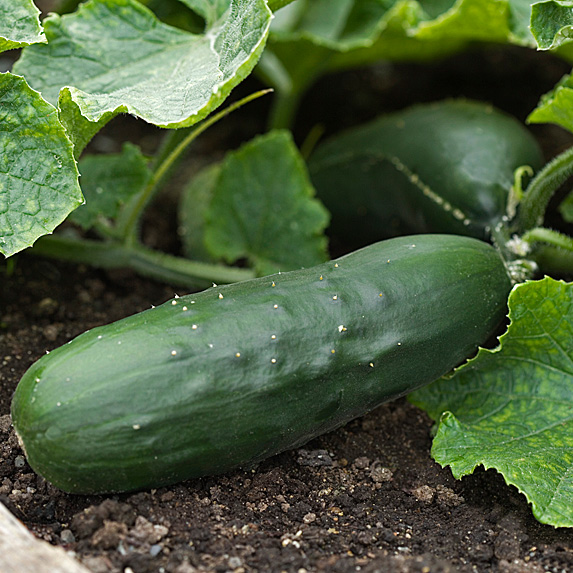 Cucumbers growing in a garden