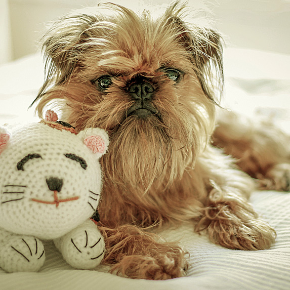 Scraggly golden Brussels Griffon lying next to stuffed cat doll