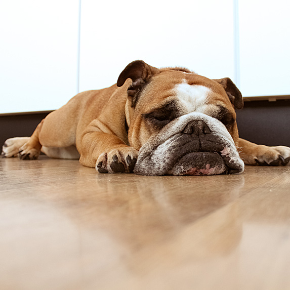 Bulldog lying on kitchen floor with chin to ground