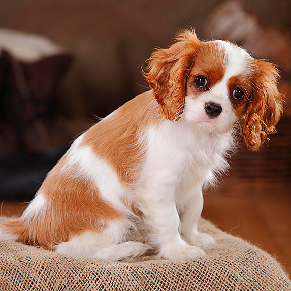Cavalier King Charles Spaniel sitting on bed with tilted head
