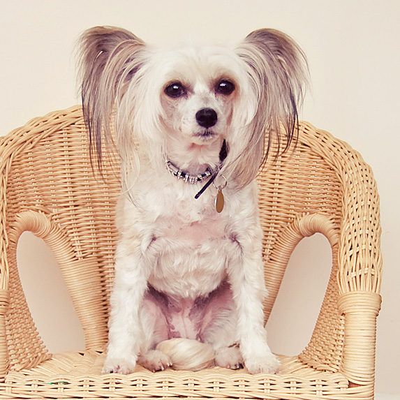 White and grey Chinese Crested sitting on wicker chair