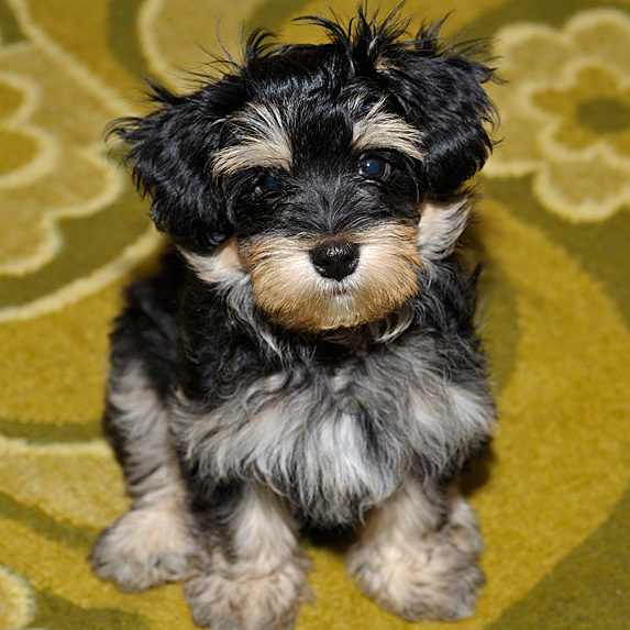 Black and beige Havanese puppy on green carpet looking up