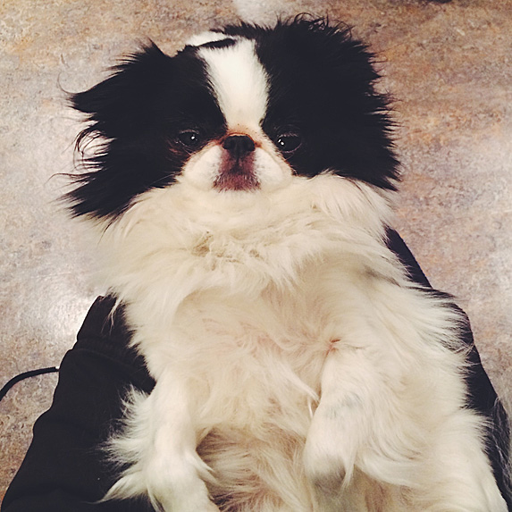 Black and white Japanese Chin lying on back and looking up