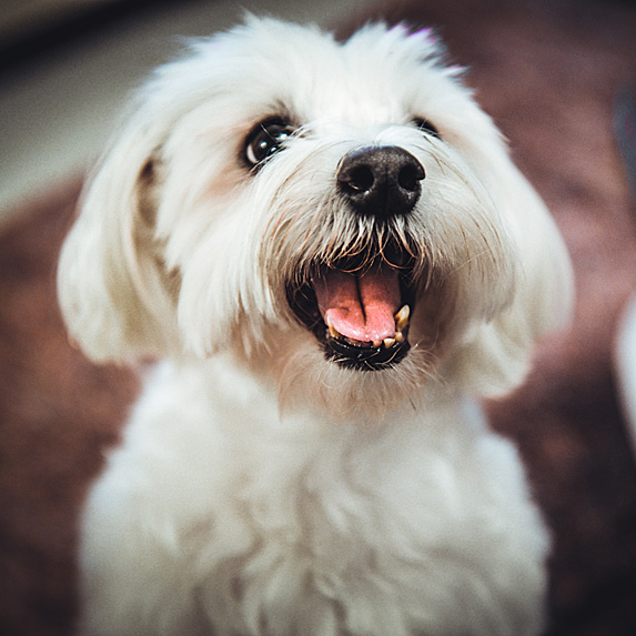 Happy Maltese looking up with mouth open
