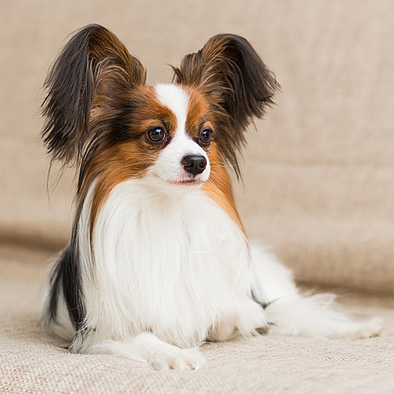 Brown and white Papillon lying regally on sofa