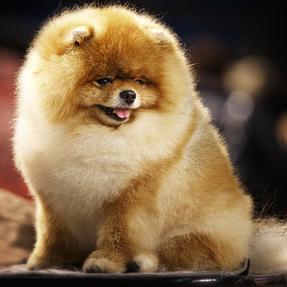 Fluffy Pomeranian sitting with tongue out