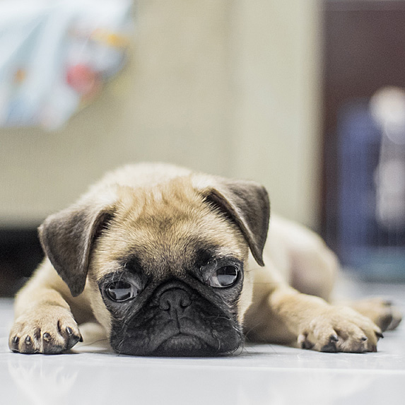 Pug lying on kitchen floor with chin to ground