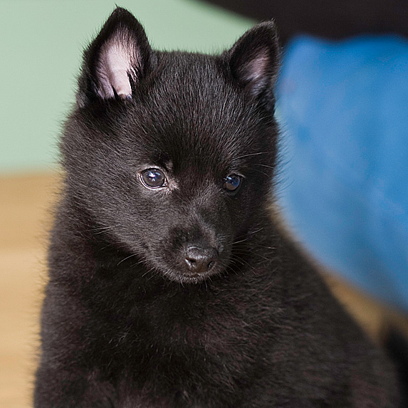 Black Schipperke sitting and looking down