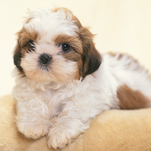 White and brown Shih Tzu draped over sofa's back