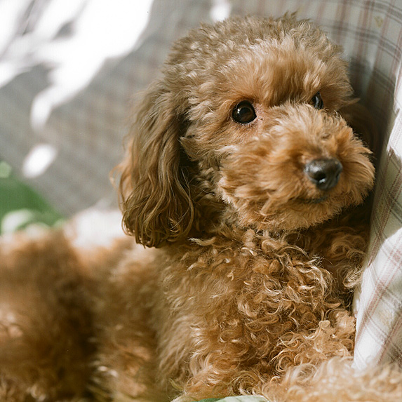 Fluffy brown Toy Poodle lying on sofa