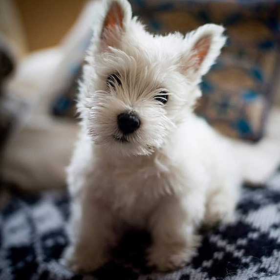 White West Highland Terrier sitting on carpet with tilted head