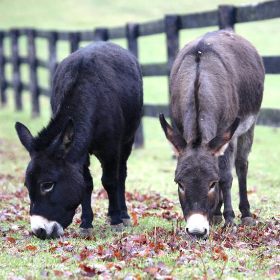 Two miniature donkeys graze along a fence line