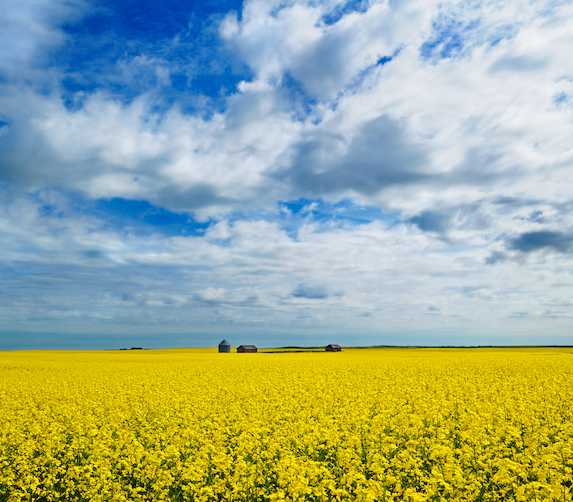 Canola crop in Eyebrow, Saskatchewan