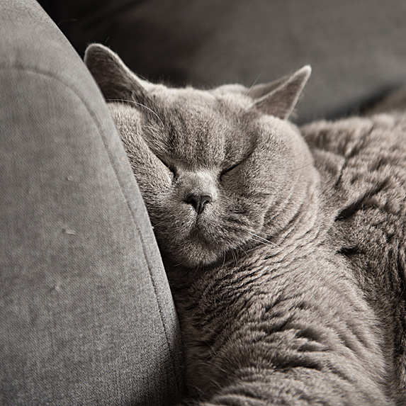 grey cat napping on couch