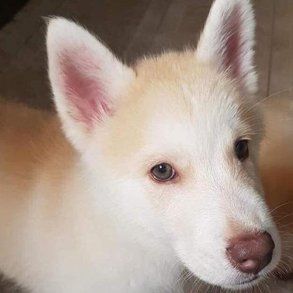 Chowsky dog