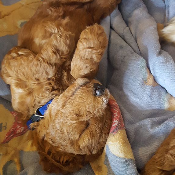 whoodle puppy sleeping