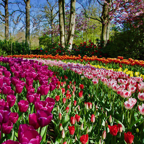 Rows of pink, red, yellow, and orange tulips and other flowers on a sunny day in Keukenhof gardens