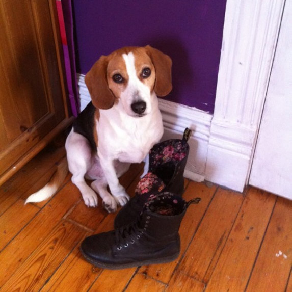 Beagle by a pair of shoes