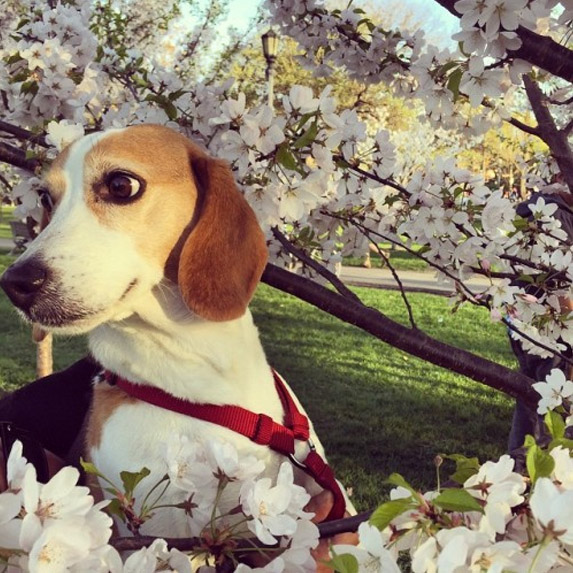 Beagle in a cherry blossom tree