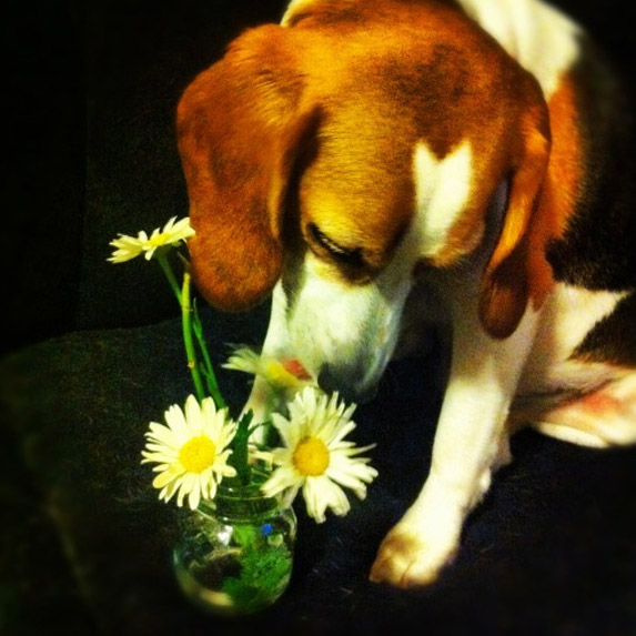 Beagle sniffs some flowers