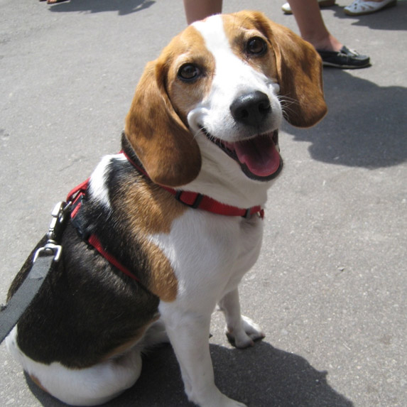 Libra: Beagle