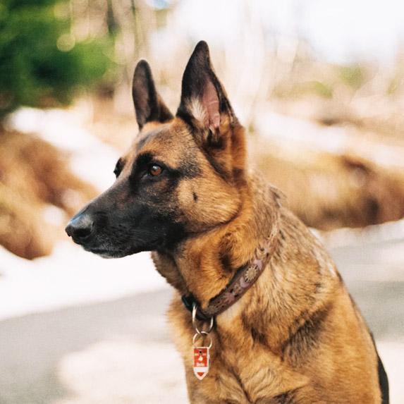 Scorpio: German Shepherd