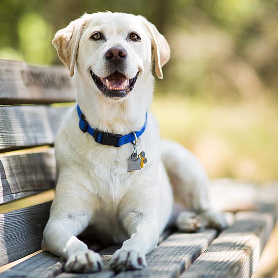 Virgo: Labrador Retriever