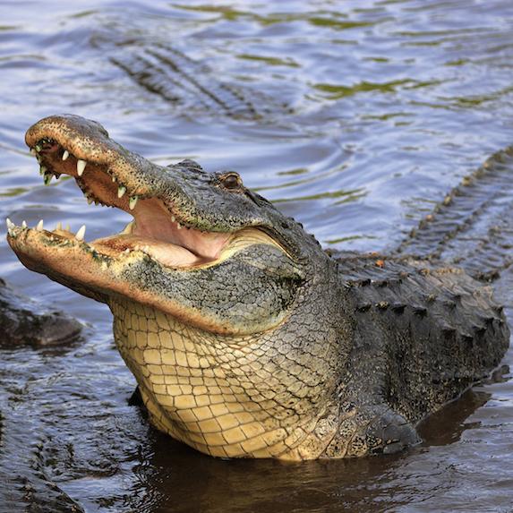 Alligator: Not allowed