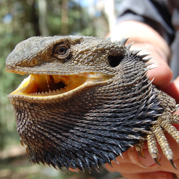 Bearded Dragon: Probably not