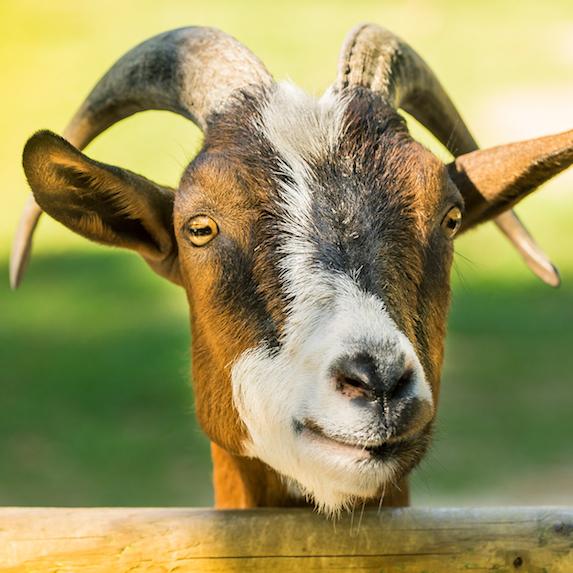emotional support goat