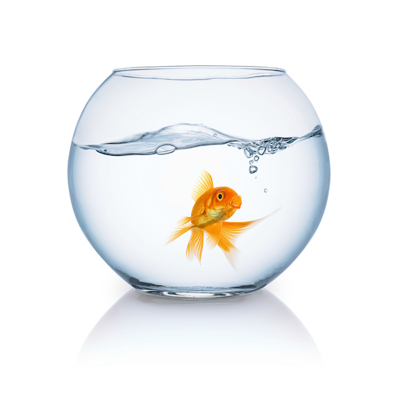 Goldfish: Apparently