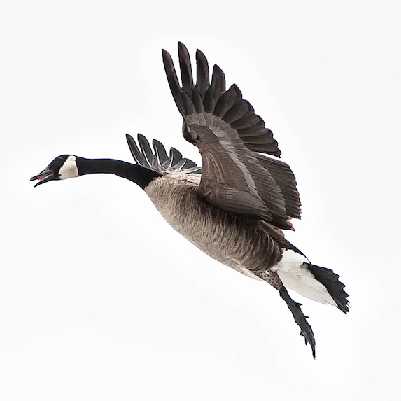 Goose: Apparently