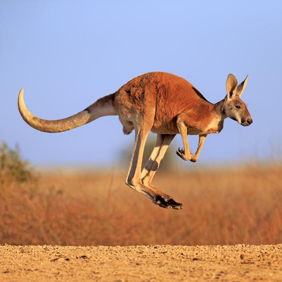 Kangaroo: Not allowed