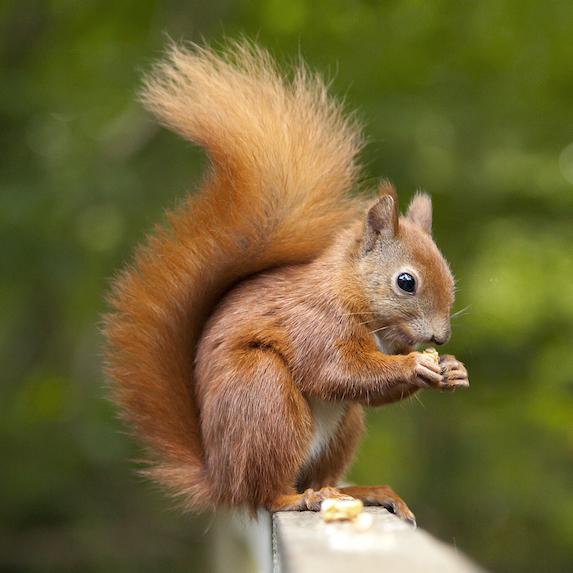 emotional support squirrel